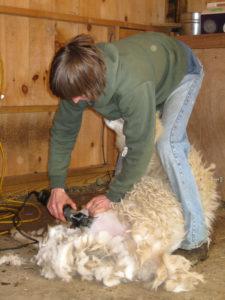 Shearing begins