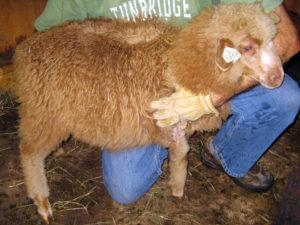 Ram lamb, Chaleco