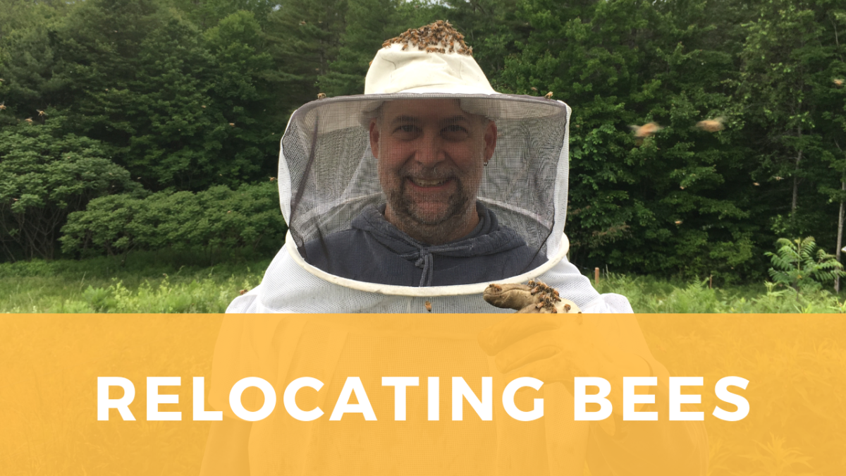 Relocating Bees: our friends attempt to re-home a swarm.