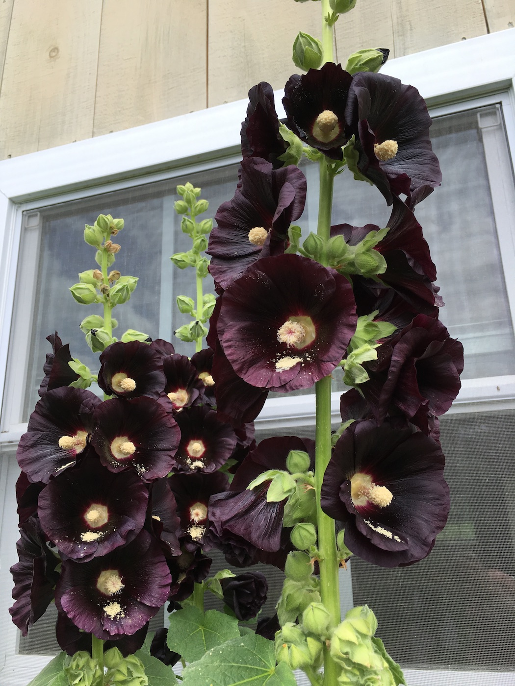 Dyeing wool with black hollyhocks: blue made easy